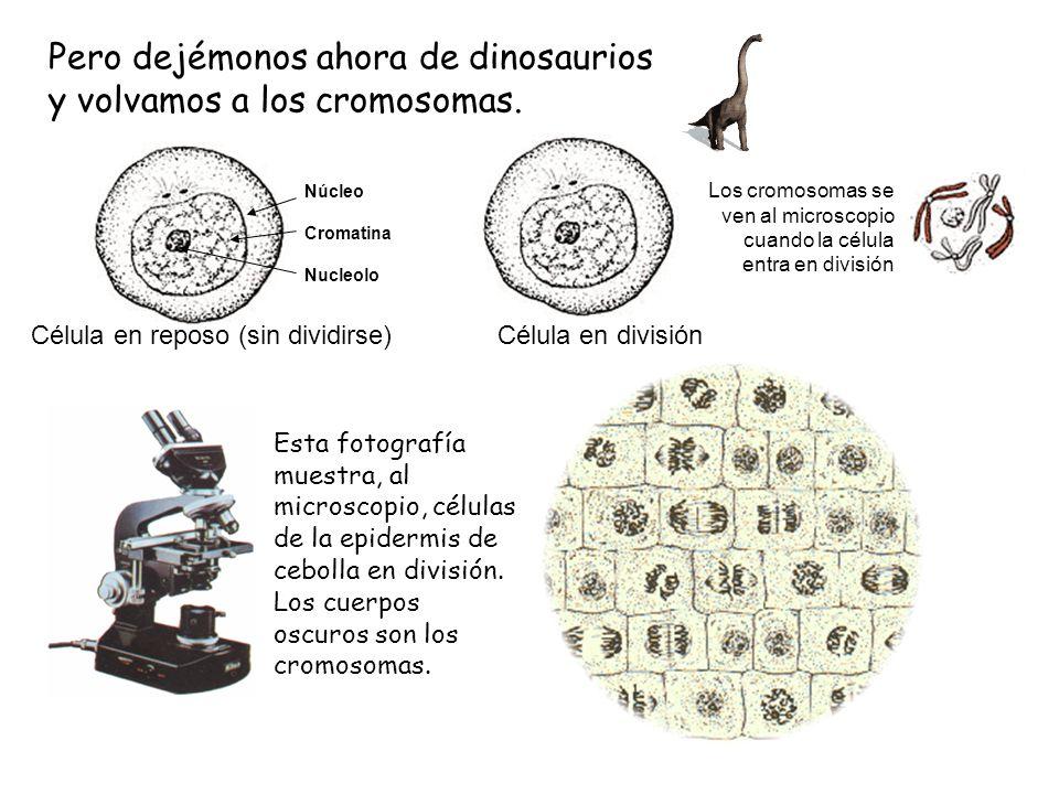 Pero dejémonos ahora de dinosaurios y volvamos a los cromosomas. Célula en reposo (sin dividirse) Célula en división Los cromosomas se ven al microsco