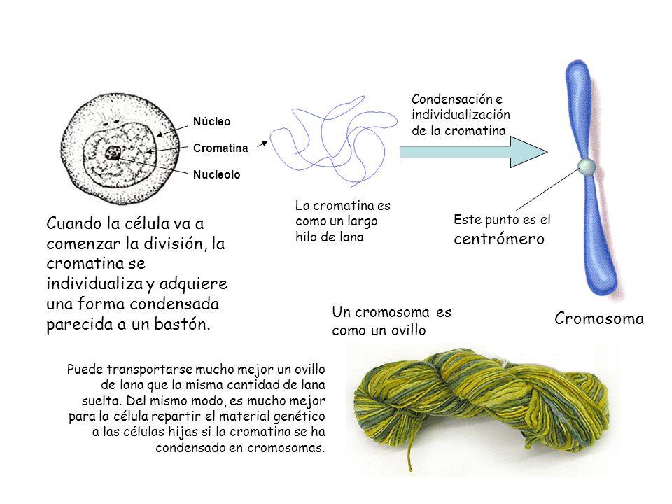 Cuando la célula va a comenzar la división, la cromatina se individualiza y adquiere una forma condensada parecida a un bastón. Núcleo Cromatina Nucle