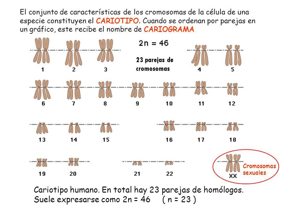 23 parejas de cromosomas El conjunto de características de los cromosomas de la célula de una especie constituyen el CARIOTIPO. Cuando se ordenan por