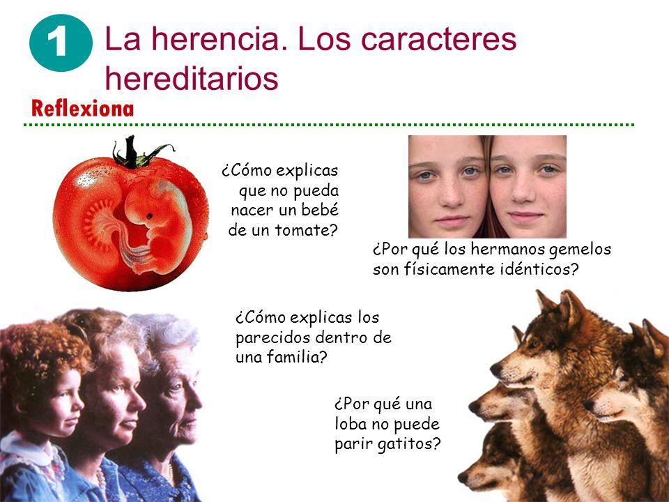 1 La herencia. Los caracteres hereditarios ¿Cómo explicas que no pueda nacer un bebé de un tomate? ¿Por qué los hermanos gemelos son físicamente idént