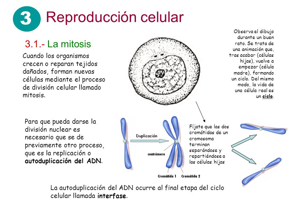 3 Reproducción celular Cuando los organismos crecen o reparan tejidos dañados, forman nuevas células mediante el proceso de división celular llamado m