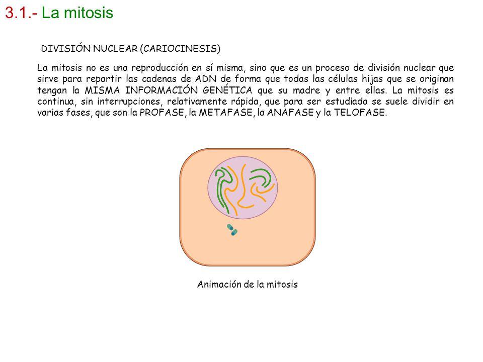 3.1.- La mitosis La mitosis no es una reproducción en sí misma, sino que es un proceso de división nuclear que sirve para repartir las cadenas de ADN