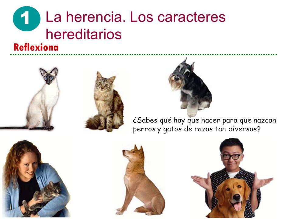 1 La herencia. Los caracteres hereditarios ¿Sabes qué hay que hacer para que nazcan perros y gatos de razas tan diversas? Reflexiona