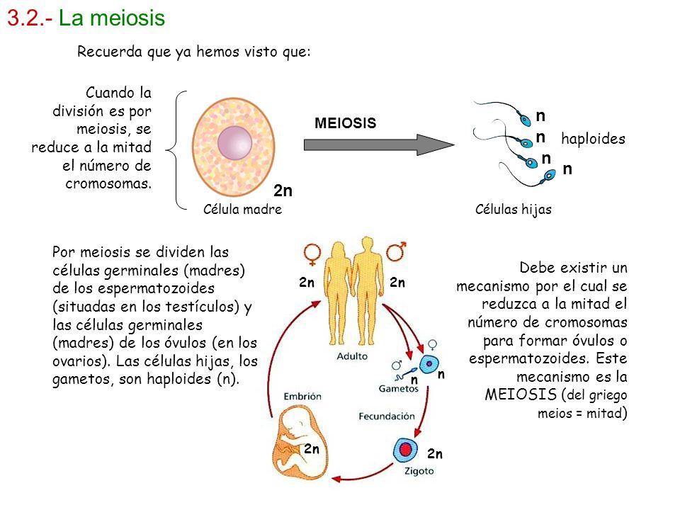 3.2.- La meiosis MEIOSIS 2n n n n n haploides Por meiosis se dividen las células germinales (madres) de los espermatozoides (situadas en los testículo