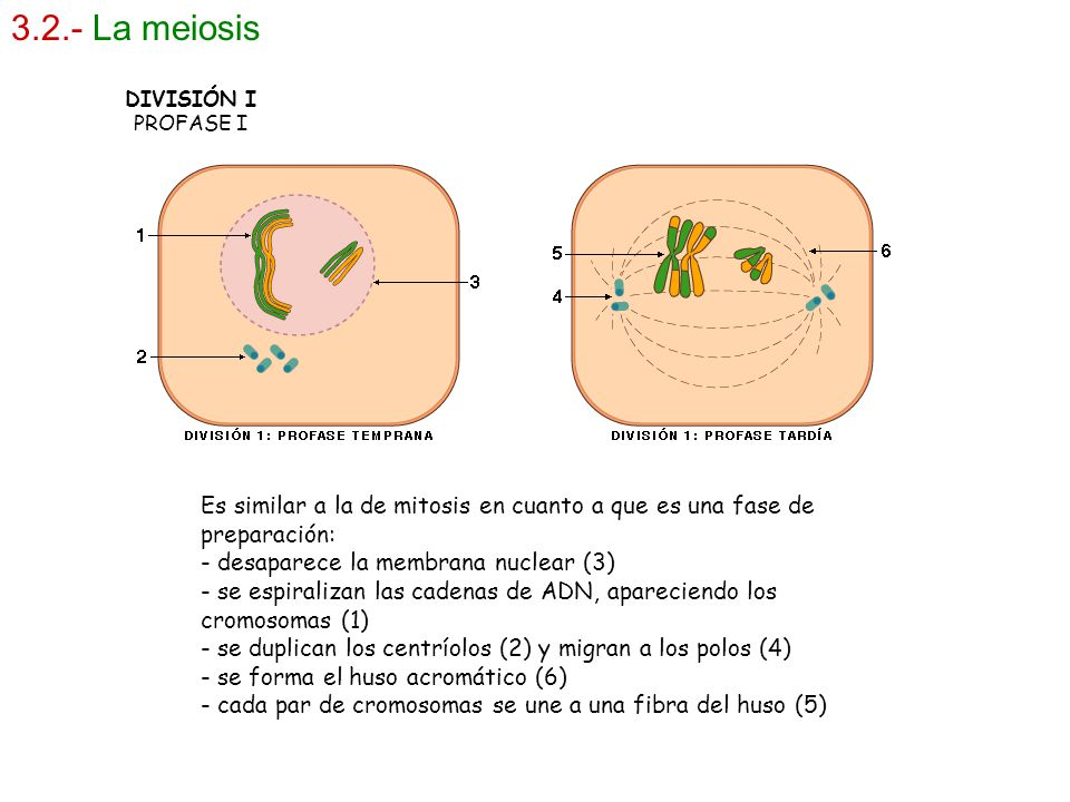 3.2.- La meiosis DIVISIÓN I PROFASE I Es similar a la de mitosis en cuanto a que es una fase de preparación: - desaparece la membrana nuclear (3) - se