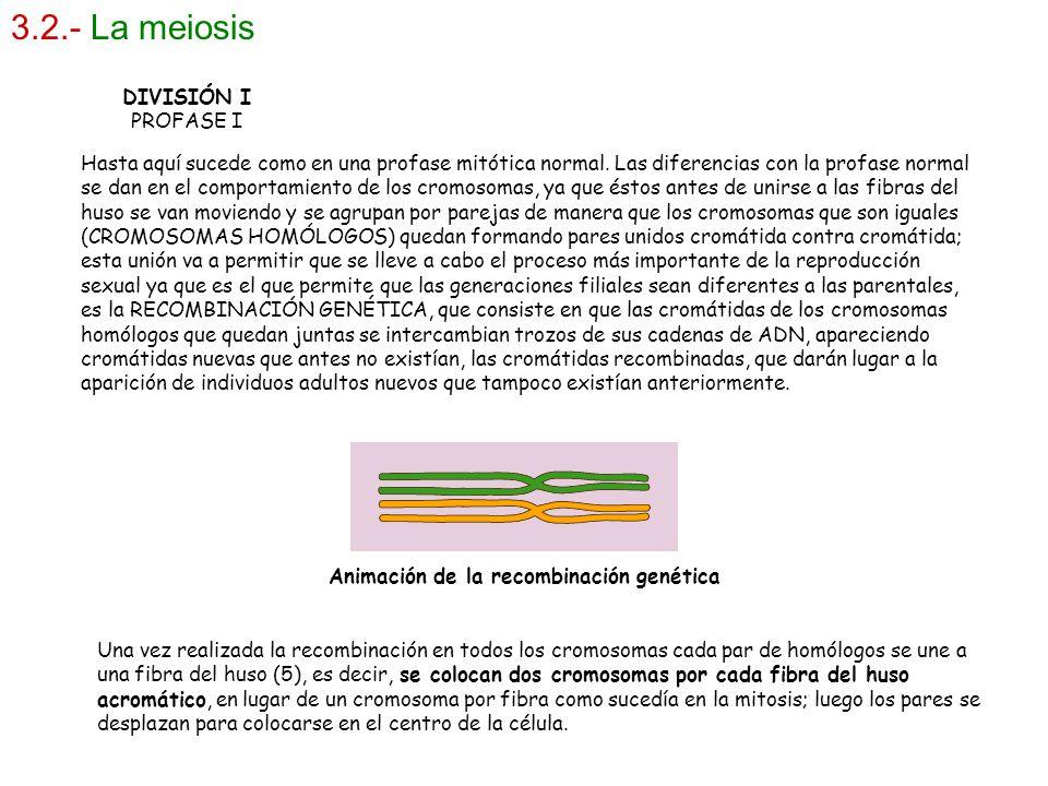 3.2.- La meiosis DIVISIÓN I PROFASE I Hasta aquí sucede como en una profase mitótica normal. Las diferencias con la profase normal se dan en el compor