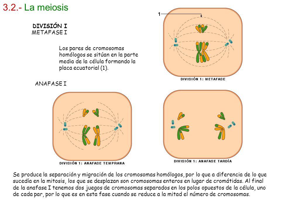3.2.- La meiosis DIVISIÓN I METAFASE I Los pares de cromosomas homólogos se sitúan en la parte media de la célula formando la placa ecuatorial (1). AN