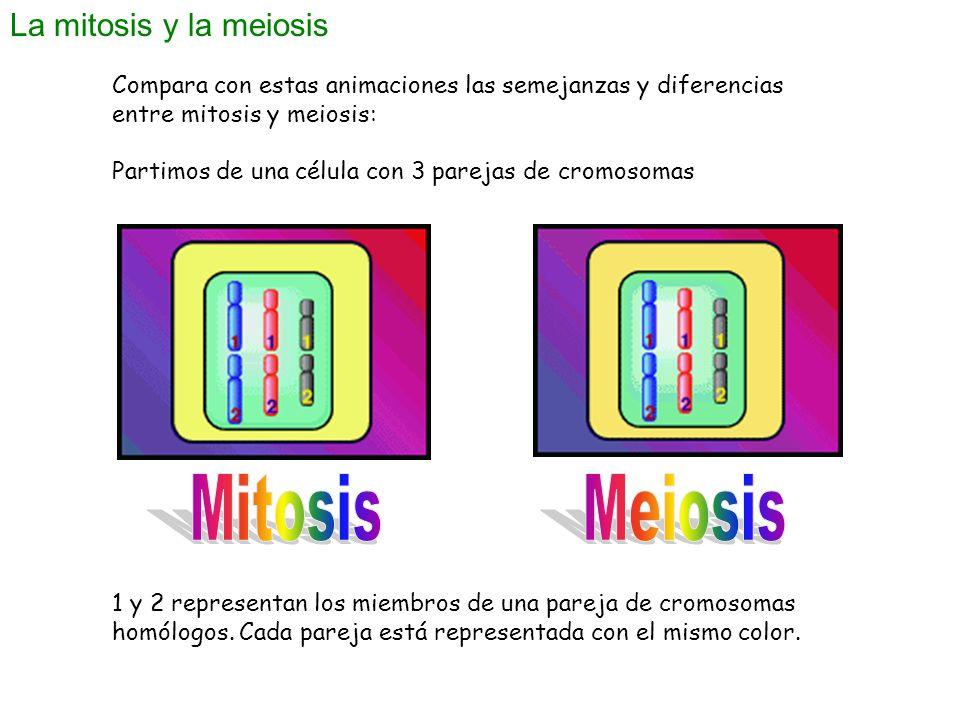 La mitosis y la meiosis Compara con estas animaciones las semejanzas y diferencias entre mitosis y meiosis: Partimos de una célula con 3 parejas de cr