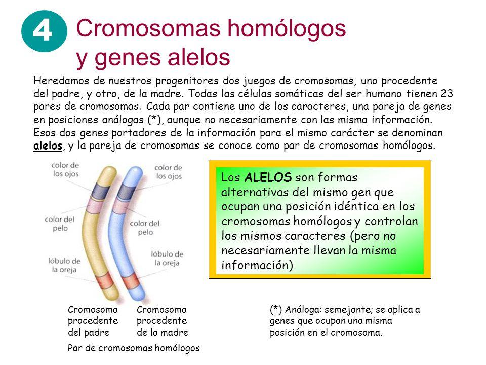 4 Cromosomas homólogos y genes alelos Heredamos de nuestros progenitores dos juegos de cromosomas, uno procedente del padre, y otro, de la madre. Toda