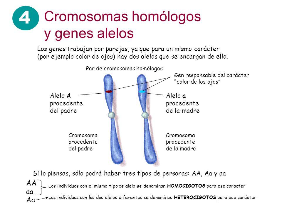 4 Cromosomas homólogos y genes alelos Los genes trabajan por parejas, ya que para un mismo carácter (por ejemplo color de ojos) hay dos alelos que se