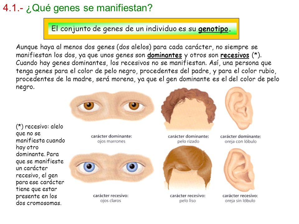 4.1.- ¿Qué genes se manifiestan? El conjunto de genes de un individuo es su genotipo. Aunque haya al menos dos genes (dos alelos) para cada carácter,