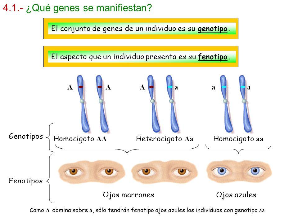 4.1.- ¿Qué genes se manifiestan? El conjunto de genes de un individuo es su genotipo. El aspecto que un individuo presenta es su fenotipo. A A A a a a