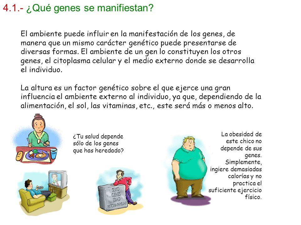 4.1.- ¿Qué genes se manifiestan? El ambiente puede influir en la manifestación de los genes, de manera que un mismo carácter genético puede presentars