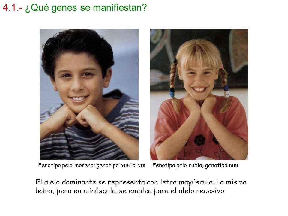 4.1.- ¿Qué genes se manifiestan? Fenotipo pelo moreno; genotipo MM o Mn Fenotipo pelo rubio; genotipo mm El alelo dominante se representa con letra ma