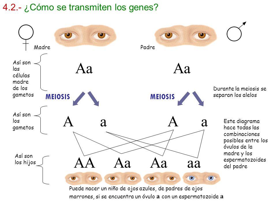 4.2.- ¿Cómo se transmiten los genes? MEIOSIS Madre Padre Así son los gametos Así son las células madre de los gametos Aa AA Aa Aa aa Durante la meiosi