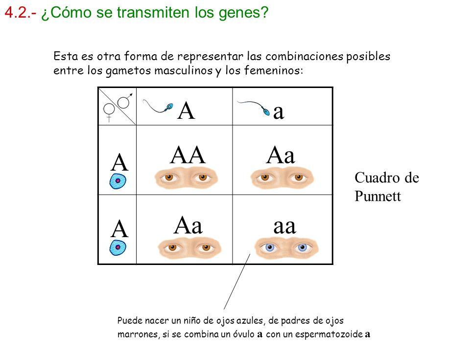 4.2.- ¿Cómo se transmiten los genes? Puede nacer un niño de ojos azules, de padres de ojos marrones, si se combina un óvulo a con un espermatozoide a