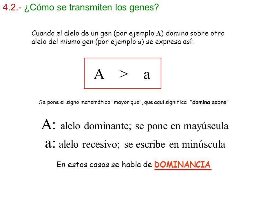 4.2.- ¿Cómo se transmiten los genes? A: alelo dominante; se pone en mayúscula a: alelo recesivo; se escribe en minúscula A > a Cuando el alelo de un g