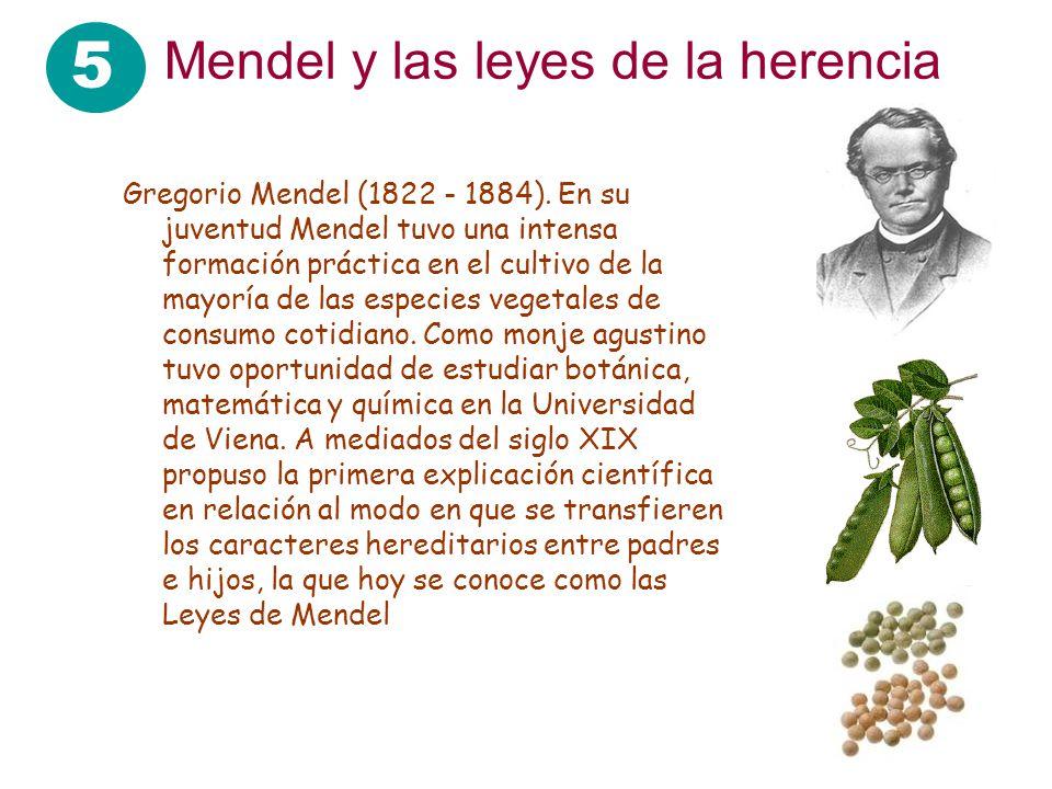 5 Mendel y las leyes de la herencia Gregorio Mendel (1822 - 1884). En su juventud Mendel tuvo una intensa formación práctica en el cultivo de la mayor