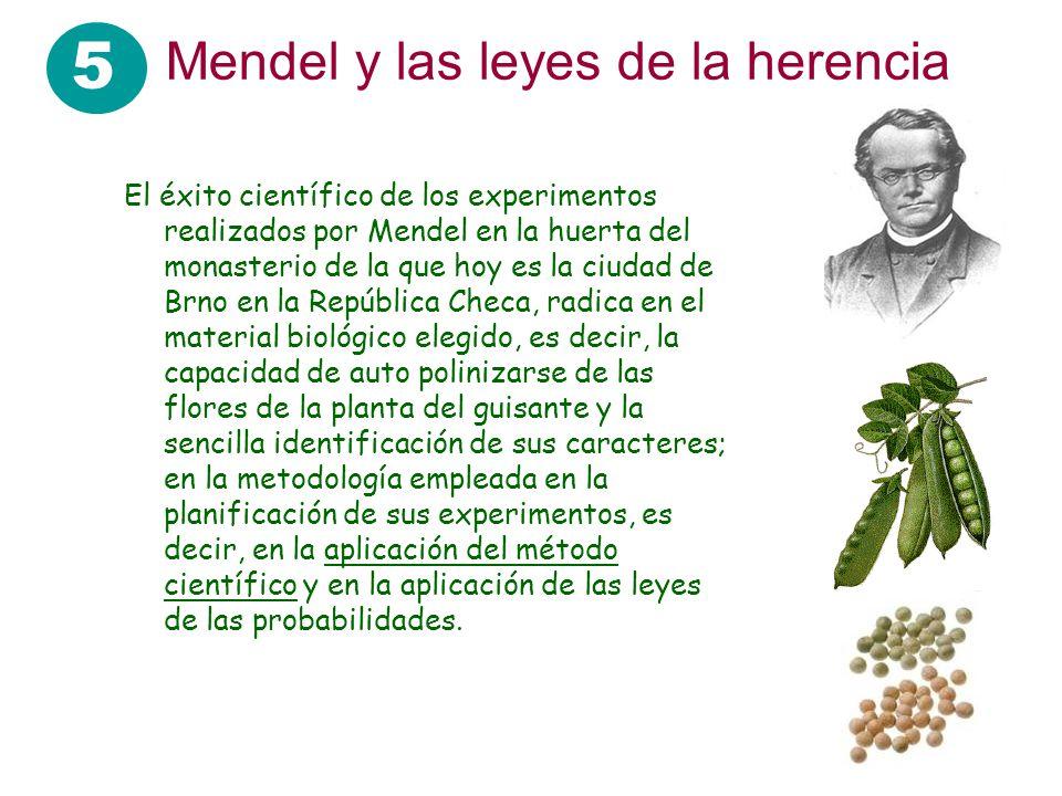 5 Mendel y las leyes de la herencia El éxito científico de los experimentos realizados por Mendel en la huerta del monasterio de la que hoy es la ciud