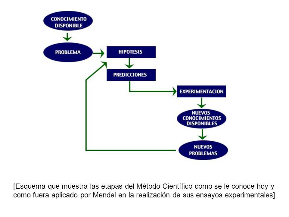 [Esquema que muestra las etapas del Método Científico como se le conoce hoy y como fuera aplicado por Mendel en la realización de sus ensayos experime