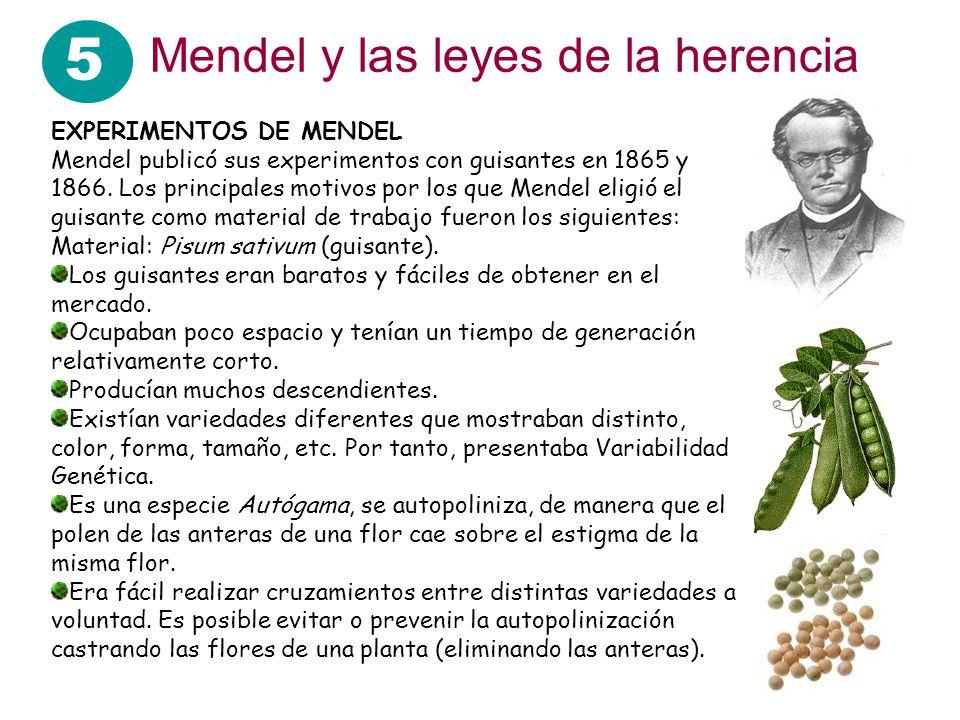 5 Mendel y las leyes de la herencia EXPERIMENTOS DE MENDEL Mendel publicó sus experimentos con guisantes en 1865 y 1866. Los principales motivos por l