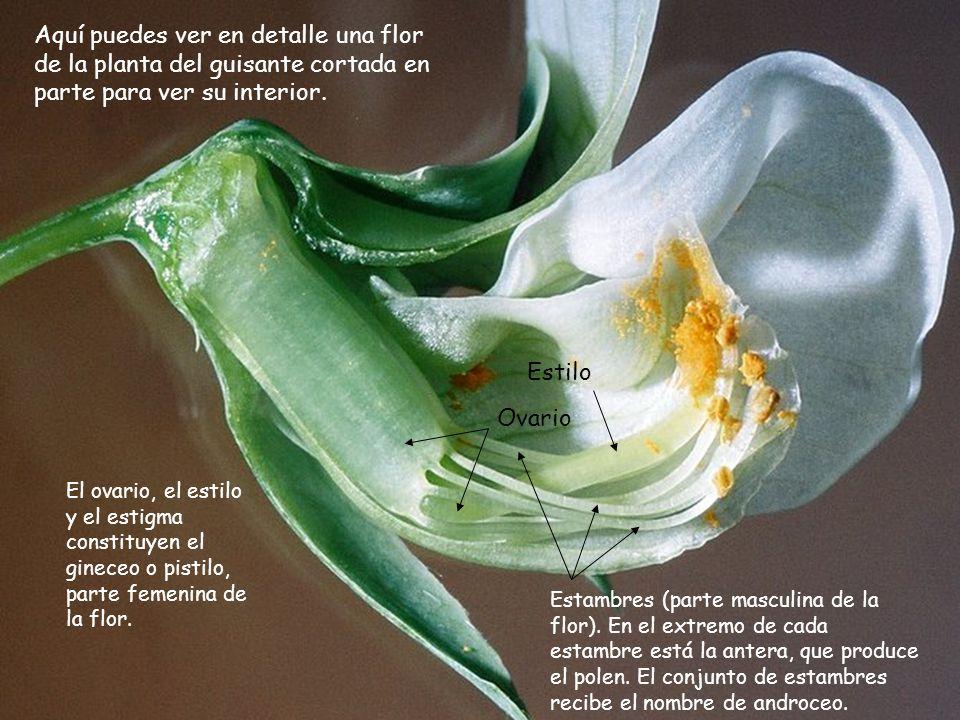 Aquí puedes ver en detalle una flor de la planta del guisante cortada en parte para ver su interior. Estambres (parte masculina de la flor). En el ext