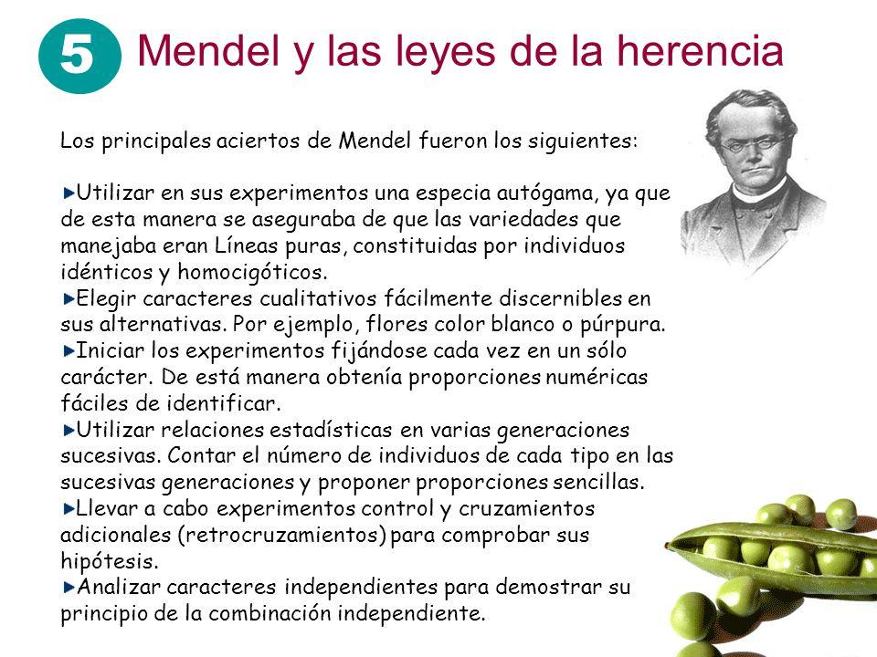 5 Mendel y las leyes de la herencia Los principales aciertos de Mendel fueron los siguientes: Utilizar en sus experimentos una especia autógama, ya qu