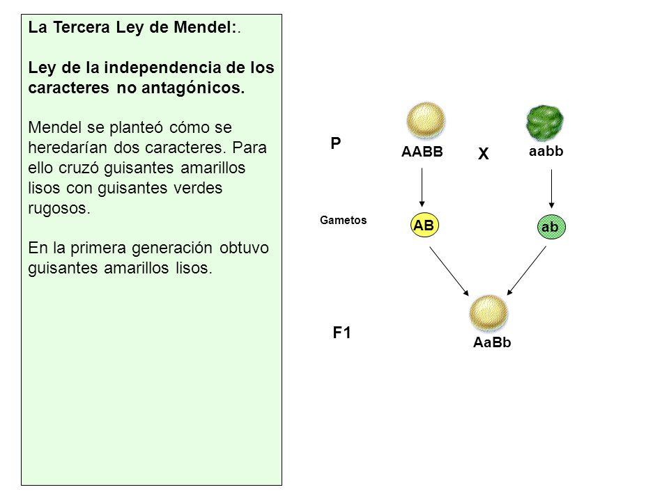 La Tercera Ley de Mendel:. Ley de la independencia de los caracteres no antagónicos. Mendel se planteó cómo se heredarían dos caracteres. Para ello cr