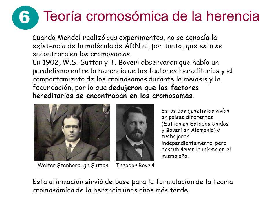 6 Teoría cromosómica de la herencia Cuando Mendel realizó sus experimentos, no se conocía la existencia de la molécula de ADN ni, por tanto, que esta