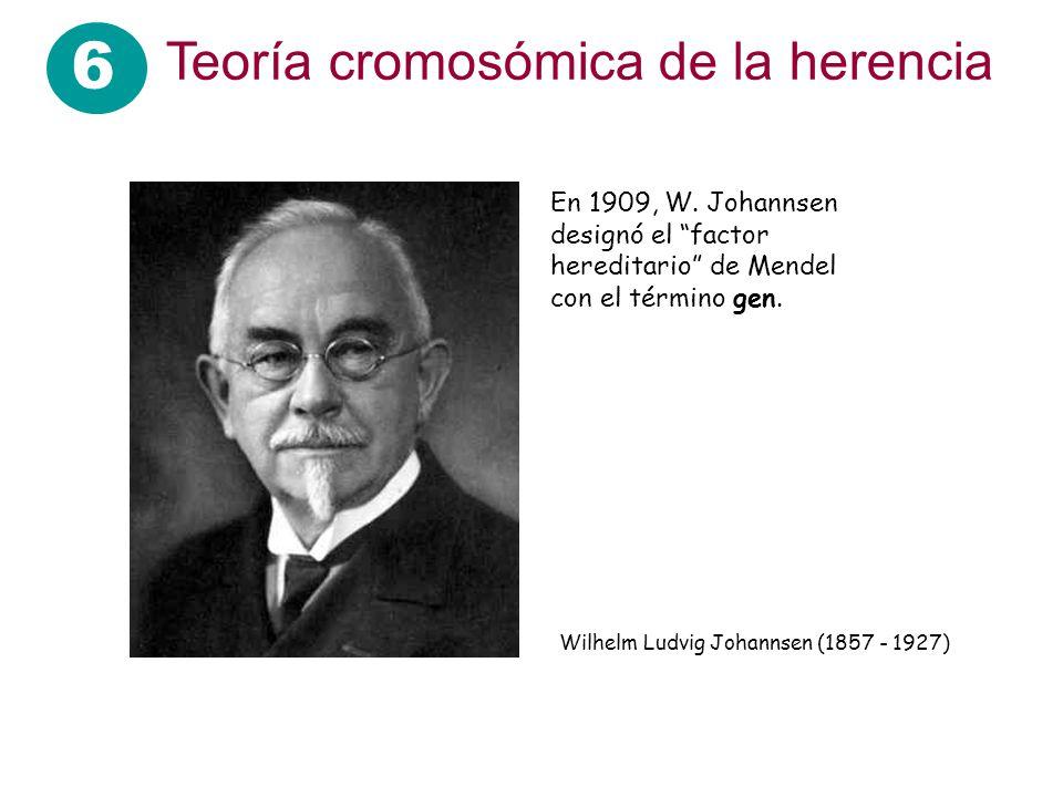 6 Teoría cromosómica de la herencia En 1909, W. Johannsen designó el factor hereditario de Mendel con el término gen. Wilhelm Ludvig Johannsen (1857 -