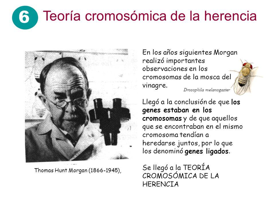 6 Teoría cromosómica de la herencia En los años siguientes Morgan realizó importantes observaciones en los cromosomas de la mosca del vinagre. Llegó a