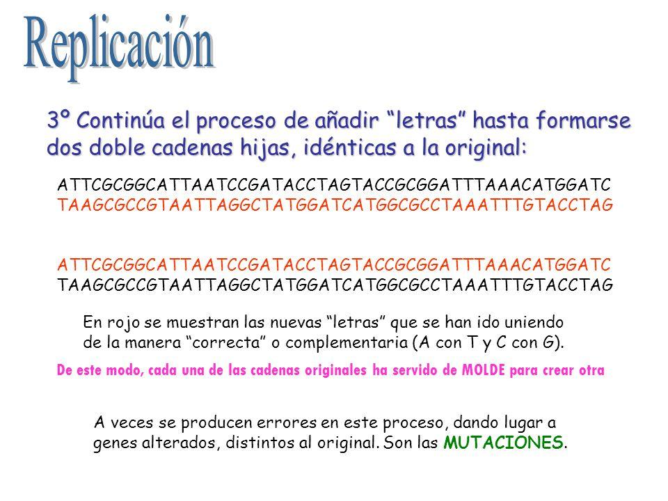 3º Continúa el proceso de añadir letras hasta formarse dos doble cadenas hijas, idénticas a la original: ATTCGCGGCATTAATCCGATACCTAGTACCGCGGATTTAAACATG