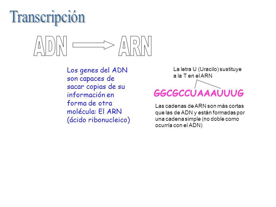 Los genes del ADN son capaces de sacar copias de su información en forma de otra molécula: El ARN (ácido ribonucleico) GGCGCCUAAAUUUG Las cadenas de A