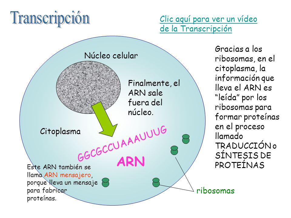GGCGCCUAAAUUUG Finalmente, el ARN sale fuera del núcleo. Gracias a los ribosomas, en el citoplasma, la información que lleva el ARN es leída por los r