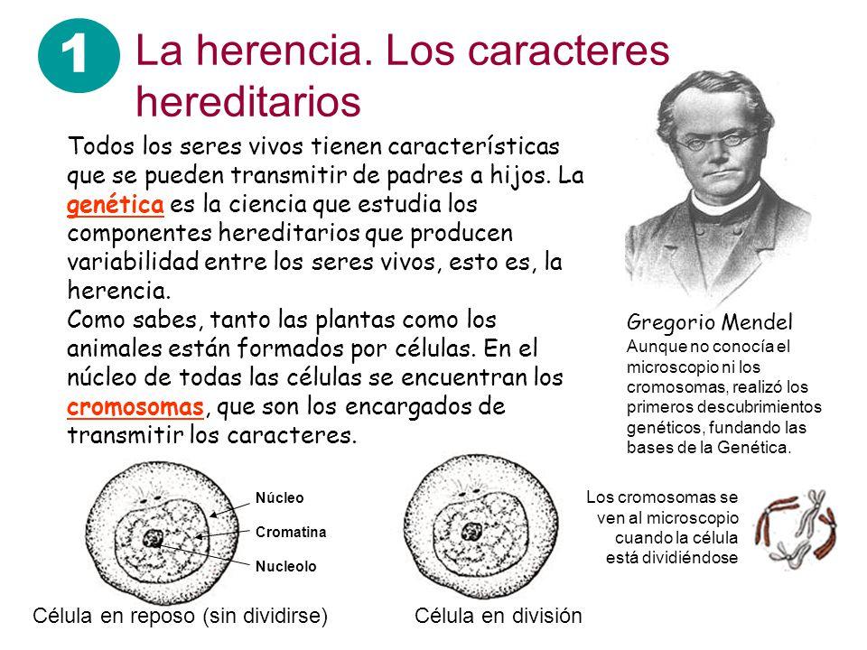 Gregorio Mendel 1 La herencia. Los caracteres hereditarios Todos los seres vivos tienen características que se pueden transmitir de padres a hijos. La