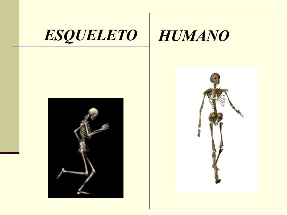 DIVISIONES DEL ESQUELETO I.Esqueleto Axial II. Esqueleto Apendicular I.