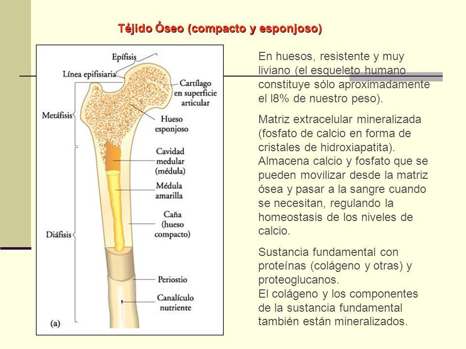 En huesos, resistente y muy liviano (el esqueleto humano constituye sólo aproximadamente el l8% de nuestro peso). Matriz extracelular mineralizada (fo