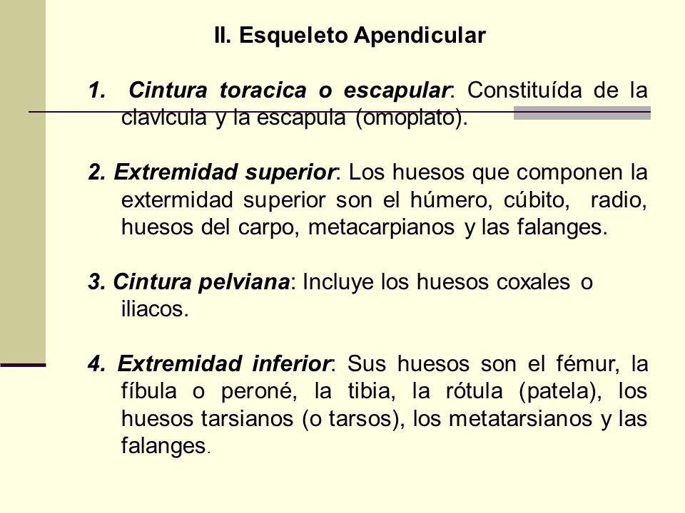 II. Esqueleto Apendicular 1. Cintura toracica o escapular: Constituída de la clavlcula y la escapula (omoplato). 2. Extremidad superior: Los huesos qu