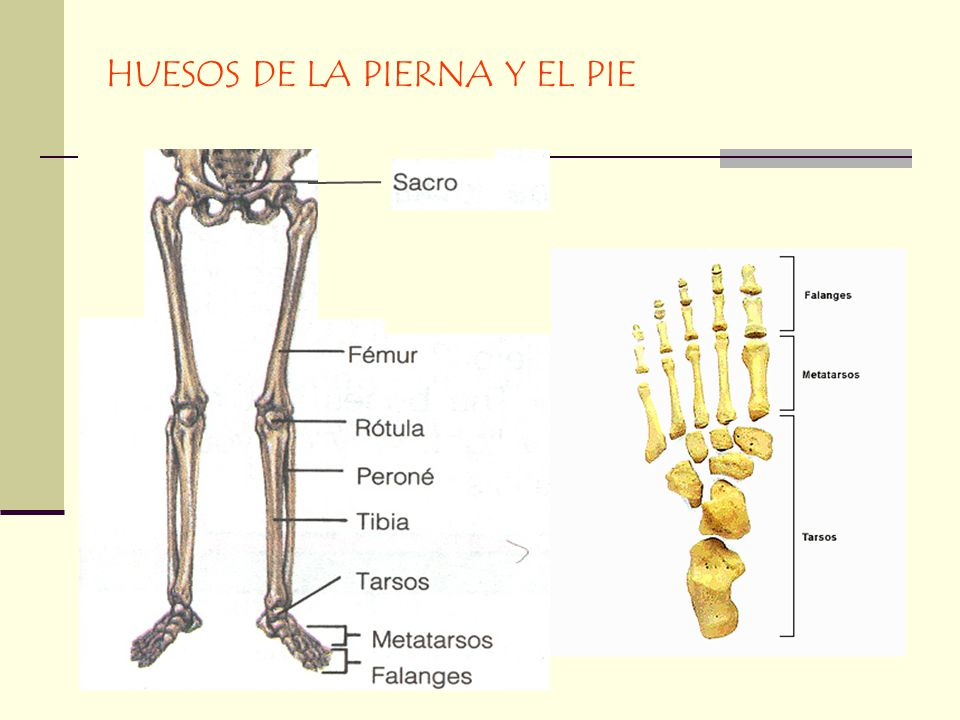 Hermosa Huesos De La Pierna Y El Pie Patrón - Anatomía de Las ...