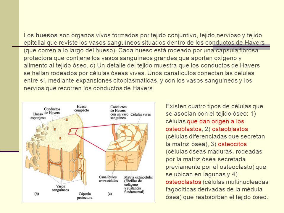 Funciones Huesos 1.Sostén 2.Protección 3.Movimiento 4.Hematopoyesis 5.Reservorio de calcio: Mantiene la concentración de calcio en la sangre.