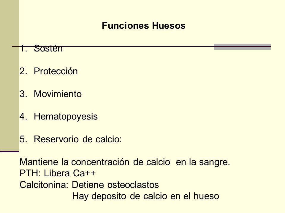 Funciones Huesos 1.Sostén 2.Protección 3.Movimiento 4.Hematopoyesis 5.Reservorio de calcio: Mantiene la concentración de calcio en la sangre. PTH: Lib