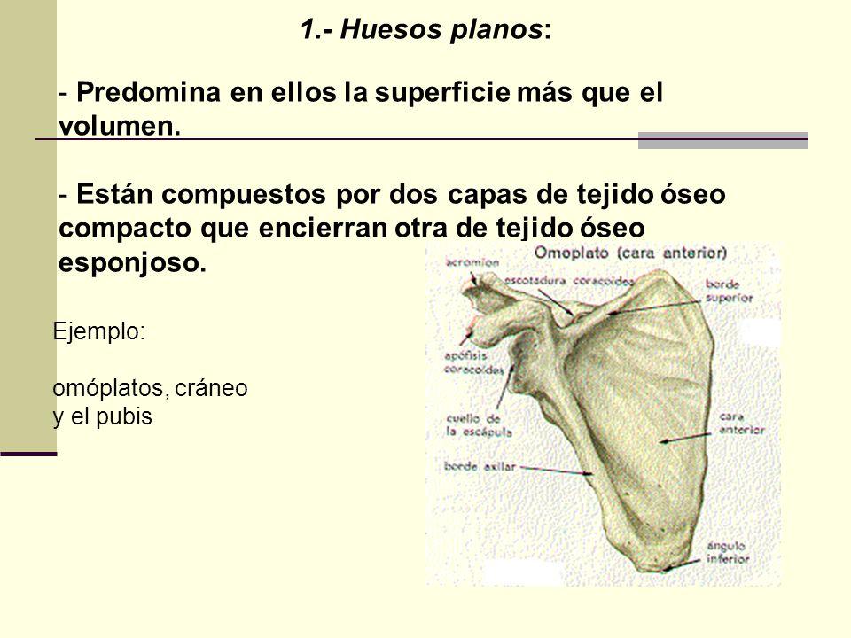 1.- Huesos planos: - Predomina en ellos la superficie más que el volumen. - Están compuestos por dos capas de tejido óseo compacto que encierran otra