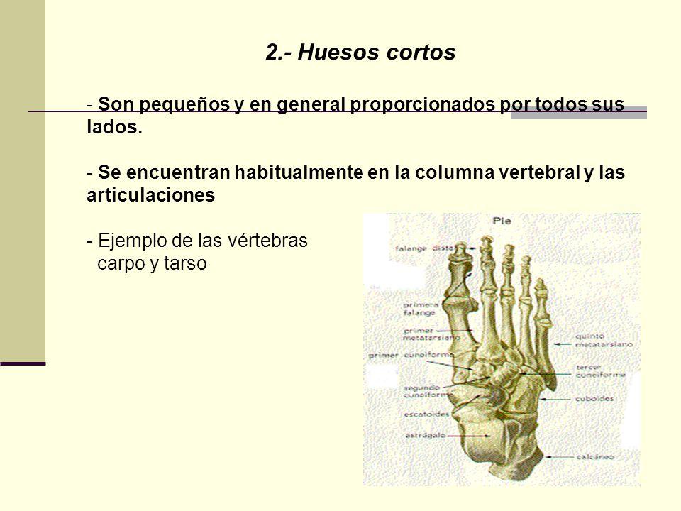 2.- Huesos cortos - Son pequeños y en general proporcionados por todos sus lados. - Se encuentran habitualmente en la columna vertebral y las articula