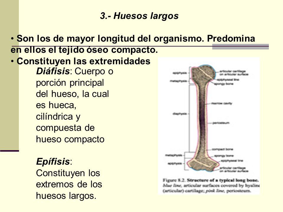 3.- Huesos largos Son los de mayor longitud del organismo. Predomina en ellos el tejido óseo compacto. Constituyen las extremidades Diáfisis: Cuerpo o