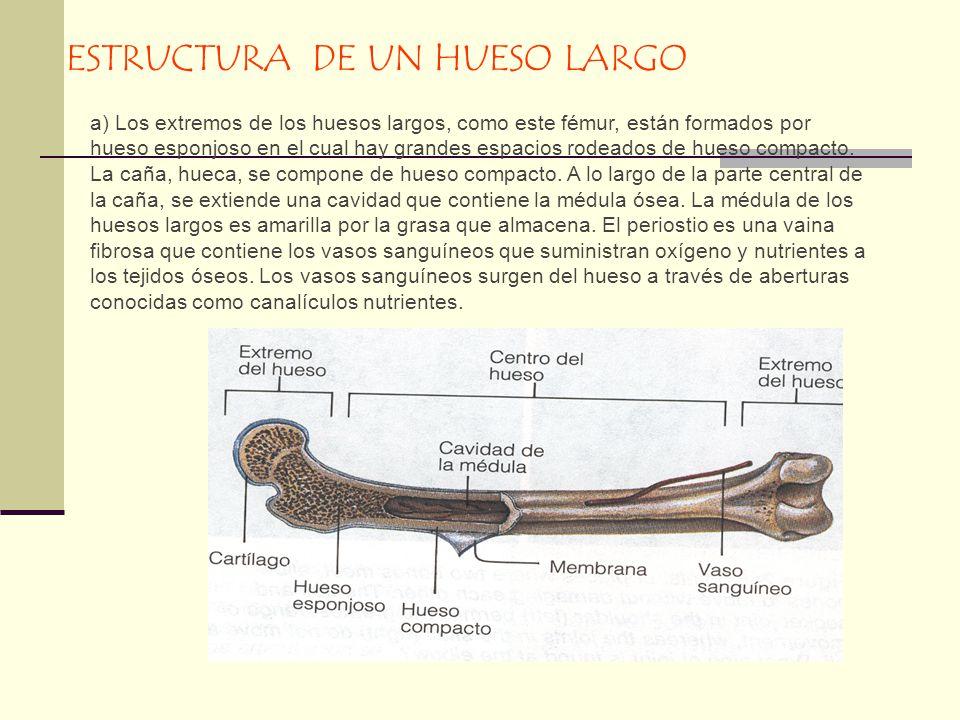 ESTRUCTURA DE UN HUESO LARGO a) Los extremos de los huesos largos, como este fémur, están formados por hueso esponjoso en el cual hay grandes espacios