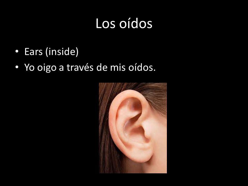 Los oídos Ears (inside) Yo oigo a través de mis oídos.