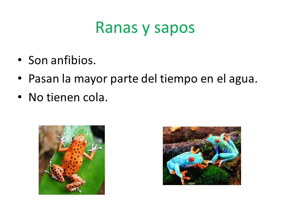Ranas y sapos Son anfibios. Pasan la mayor parte del tiempo en el agua. No tienen cola.