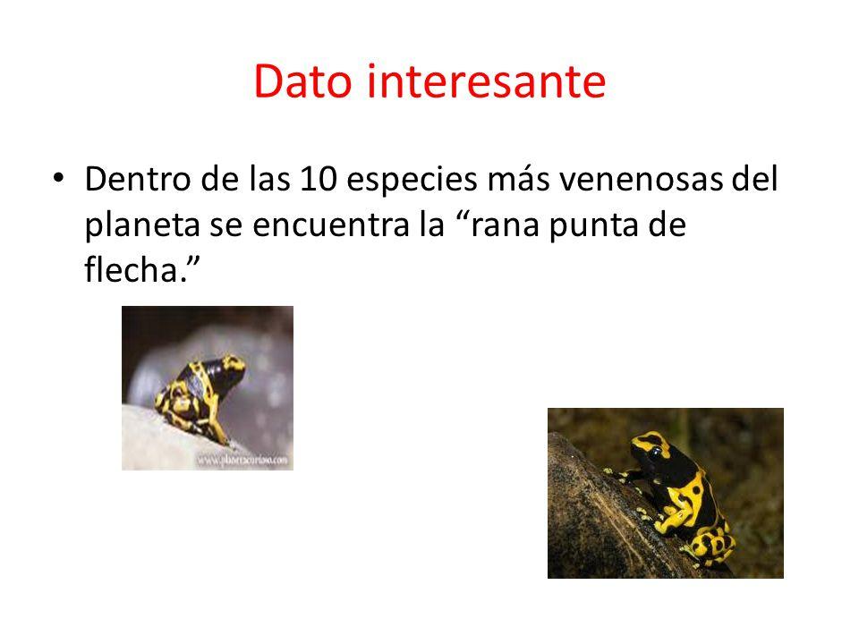 Dato interesante Dentro de las 10 especies más venenosas del planeta se encuentra la rana punta de flecha.