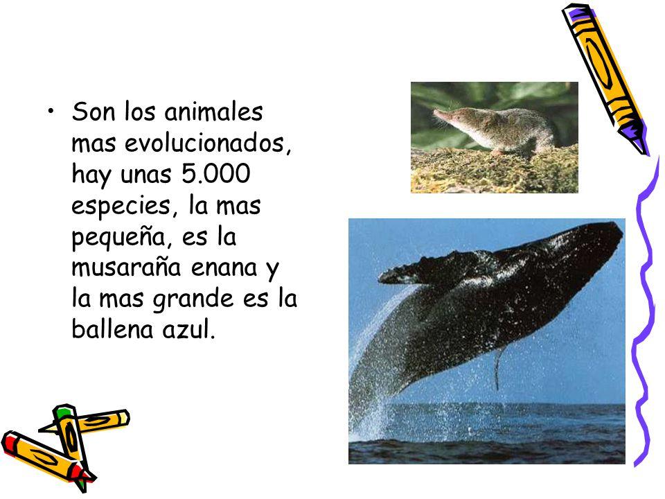 Son los animales mas evolucionados, hay unas 5.000 especies, la mas pequeña, es la musaraña enana y la mas grande es la ballena azul.