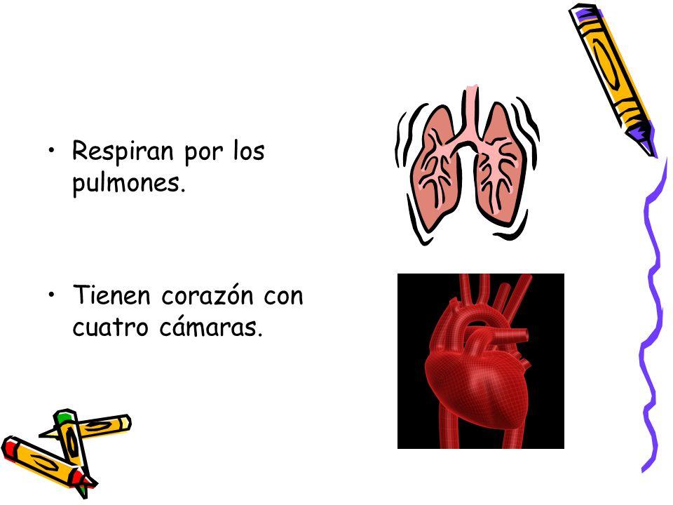 Respiran por los pulmones. Tienen corazón con cuatro cámaras.